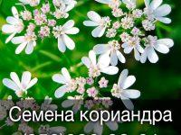Купить семена кориандра оптом