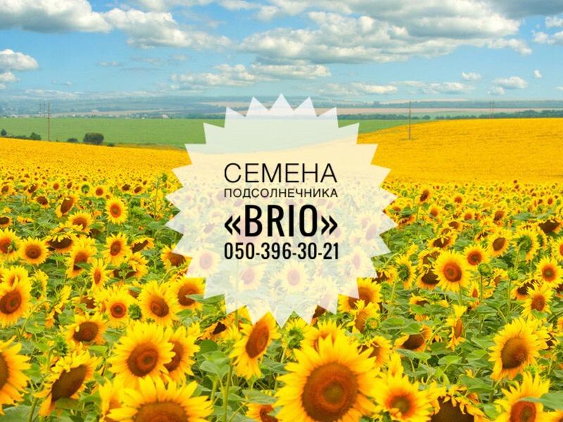 Импортные семена подсолнечника Brio