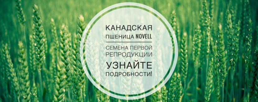 Novell канадская пшеница Новел - семена первой репродукции