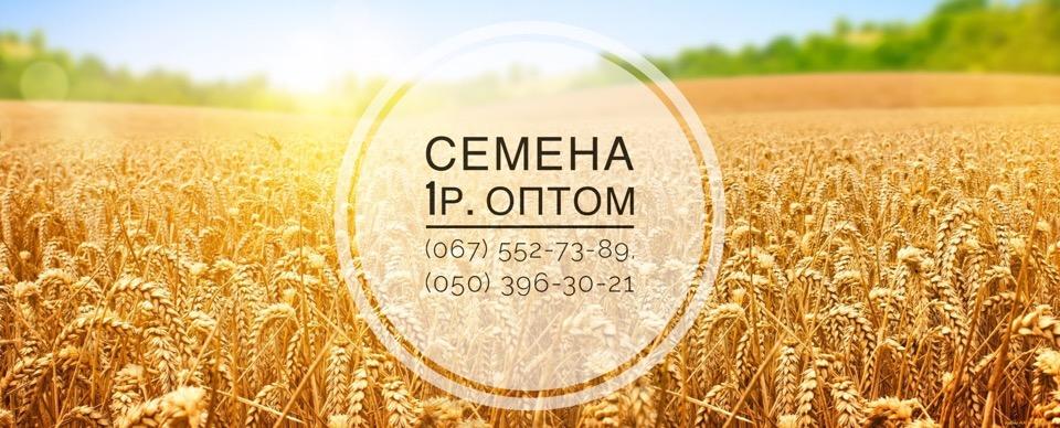 Семена оптом 1 репродукция: пшеница, канадская гречиха, кориандр
