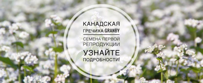 Канадская гречиха Granby Гренби семена первой репродукции
