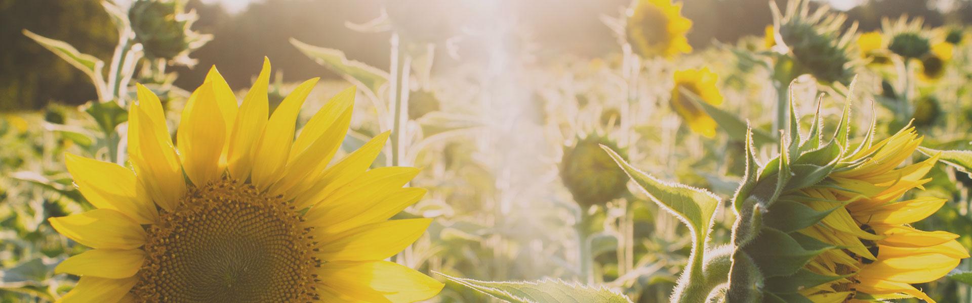 Семена подсолнечника, пшеницы, гречихи, кориандра