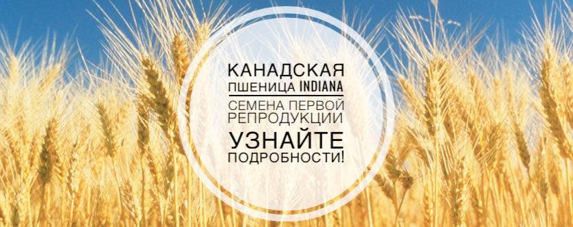 Купить семена пшеницы — канадский твердый яровой сорт Индиана