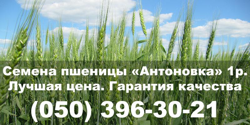 Семена озимой пшеницы Антоновка 1р. Посевной материал недорого, гарантия качества. Украинские сорта пшеницы