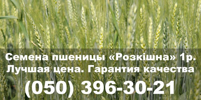 Семена озимой пшеницы «Розкішна» 1р. Посевной материал недорого, гарантия качества. Украинские сорта пшеницы