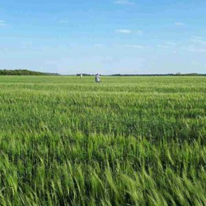 Семена ячменя ярового купить в Украине — Канадский трансгенный ячмень AVAKS (Авакс)
