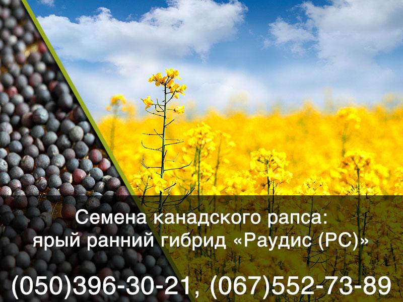 Купить семена ярого рапса в Украине: ранний яровой гибрид «РАУДИС РС»