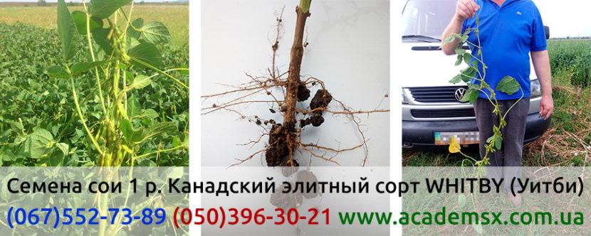 Семена канадской сои в Украине: трансгенный сорт (ГМО) WHITBY Уитби