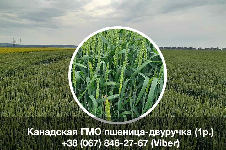 Семена мягкой канадской пшеницы двуручки Amadeo 1р